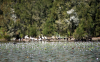 Sunning Pelicans in Fig Tree Lake