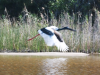 Jabiru taking off